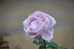 バラ14・ブルームーン.JPG
