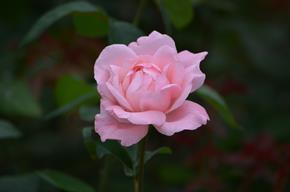 バラ16・クィーンエリザベス.JPG