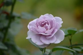 バラ19・ブルーバユー.JPG