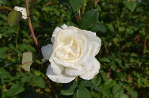 バラ22・ホワイト・クイーン・エリザベス.jpg