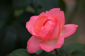 バラ25・ピンクパンサー.JPG