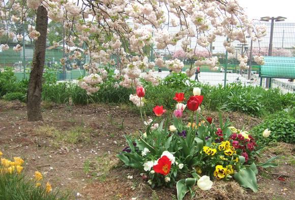 夫婦池3・チューリップと桜.jpg