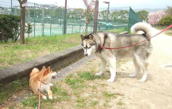 夫婦池7・ハスキー犬.jpg