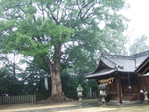 本山寺37・高良神社、クスノキ.JPG