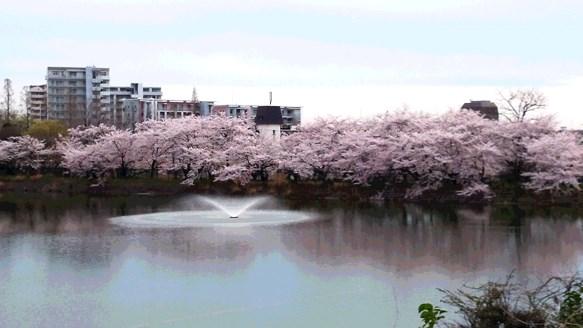 桜10・三ツ池.jpg
