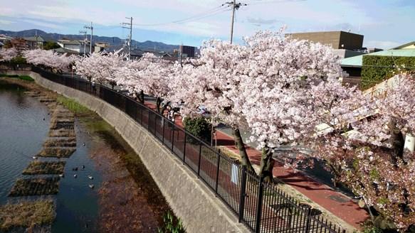 桜11・青池公園.jpg