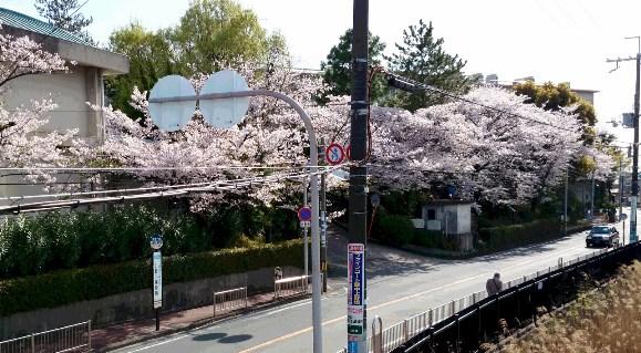 桜12・上野小学校.jpg