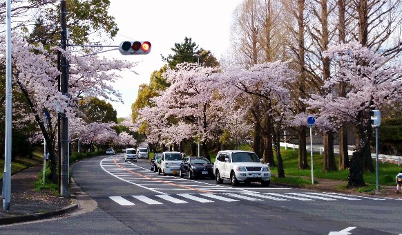 桜14・千里さくら通り.jpg