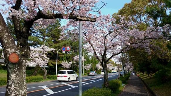 桜15・千里さくら通り.jpg