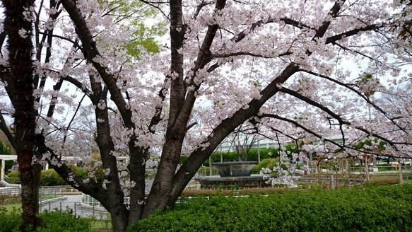 桜4・豊島公園.jpg