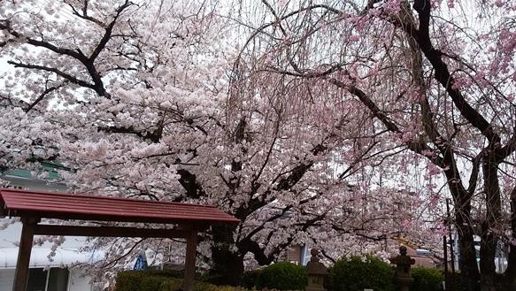 桜6・池田文庫.jpg