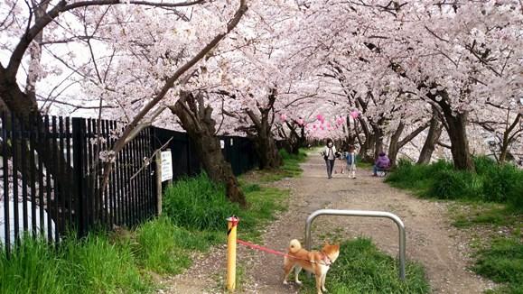 桜7・三ツ池.jpg