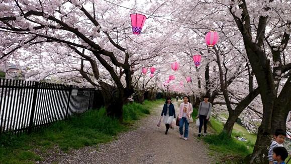 桜8・三ツ池.jpg