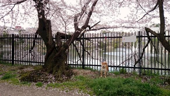 桜9・三ツ池.jpg