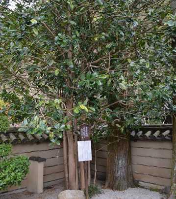 法起院21・多羅葉樹(ハガキの木).jpg