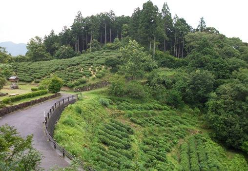 熊野36・伏拝境内から茶畑.jpg