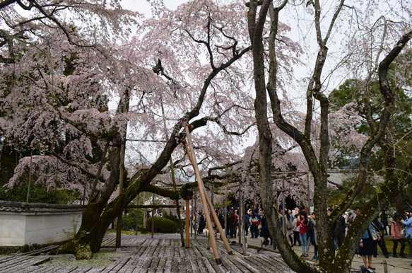 醍醐寺12・三宝寺桜.JPG