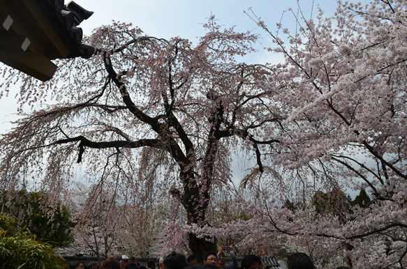 醍醐寺14・霊宝館桜.JPG