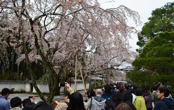醍醐寺4・三宝院桜.JPG