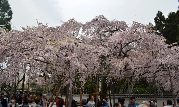 醍醐寺5・三宝院桜.JPG