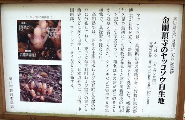 金剛頂寺26・ヤッコソウ.JPG