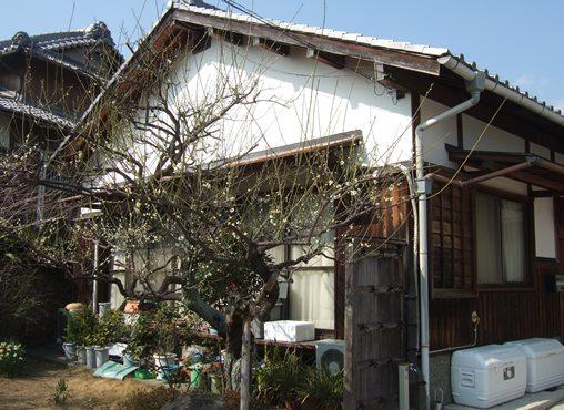 梅林寺6・庫裏横の白梅.jpg