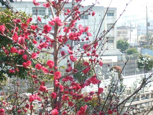 梅林寺9・墓所の紅白梅.jpg