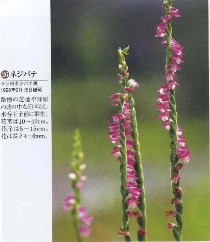 熊野19・ネジバナ花と歩く旅.jpg